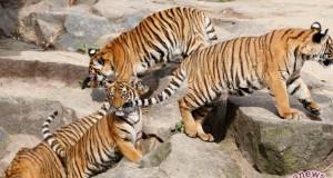 Anak-anak harimau (antara sumbar)
