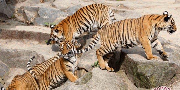 Anak-anak harimau (antara foto)