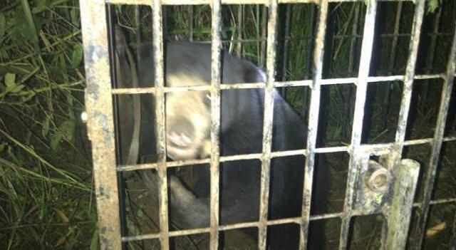 Beruang madu yang ditangkap warga. (rusmel)