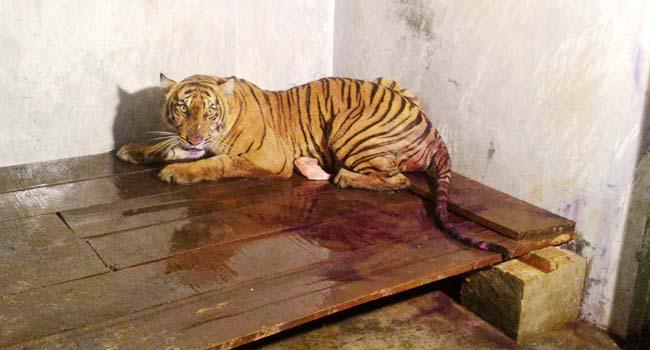 Harimau Sumatera yang dievakuasi dari Pesisir Selatan (asrial gindo)