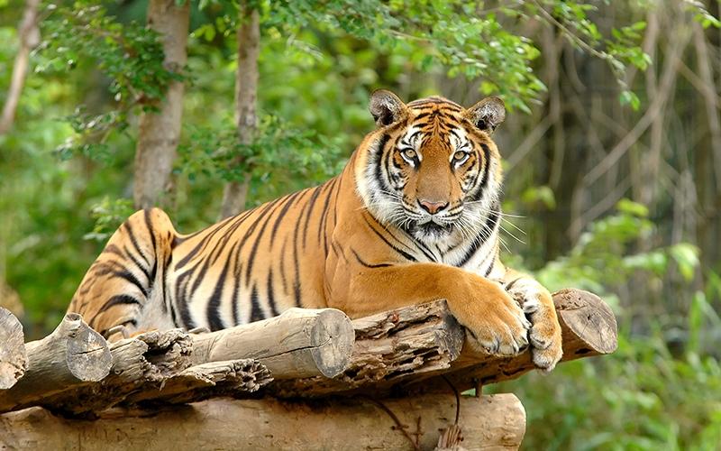 Harimau Sumatera (okezone)