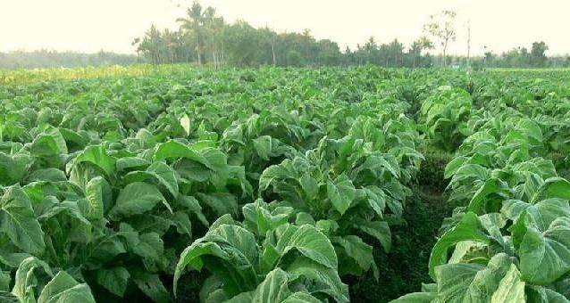Tembakau yang dikembangkan petani di Sungai Pua, Kecamatan Palembayan, Kabupaten Agam ini terlihat subur dan memiliki rasa dan ciri khas tersendiri.(lukman)