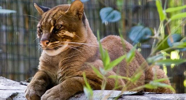 Kucing emas . (ilustrasi)