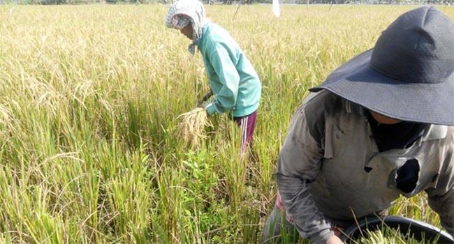 Panen anggota Kelompok Tani Lintas Bono di Desa Petodaan, Teluk Meranti, Kabupaten Pelalawan yang merupakan Kelompok binaan community development, PT Riau Andalan Pulp and Paper (ist)