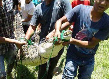 Buaya sepanjang 2,5 meter yang berhasil ditangkap warga di Batang Tarusan, Pesisir Selatan. (ist)
