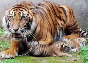 Harimau Sumatera dan tiga anaknya di TMSBK Bukittinggi (ist)