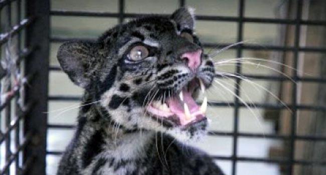 Macan Dahan (antara foto)