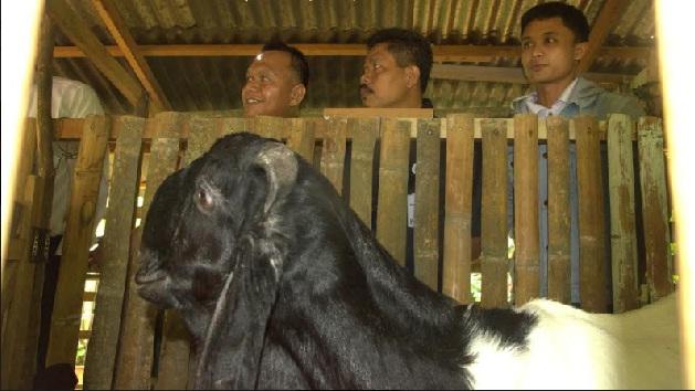 Walikota Ali Yusuf sedang meninjau usaha peternakan Kambing, Ari Krisbiantoro di Kelurahan Lobang Panjang.(armadison)