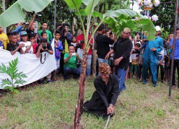 Hulubalang Tabuik Subarang melaksanakan ritual Maambiak dan Manabang Batang  Pisang di Simpang Kampuang Kaliang, Pariaman Tengah. (tomi syamsuar)